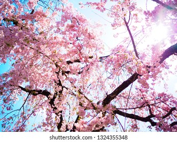Pink cherry blossom (sakura) branch in spring season of Japan for natural background