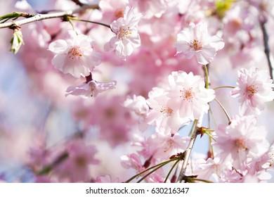 Pink cherry blossom or sakura on blue sky