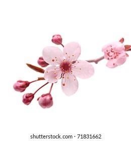 Pink cherry blossom sakura on white