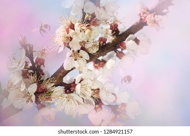 Pink cherry blossom at sunny day. Nature spring