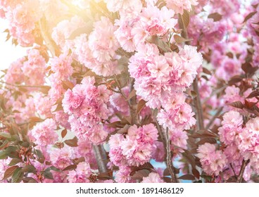 Pink cherry blossom in a sunrays close up.