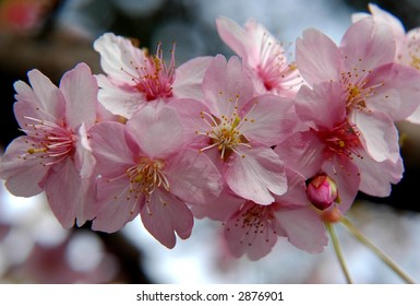 Pink cherry blossom in Tokyo