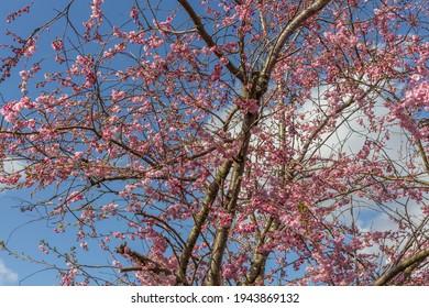 Pink cherry blossom trees against blue sky. Stockport, UK.