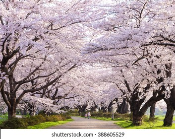Pink cherry blossom trees along the pathway in spring