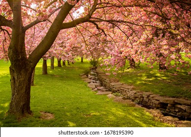 Pink Cherry Blossom Trees Alongside a Rock Lined Stream