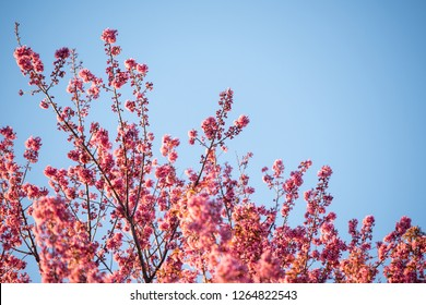 Pink cherry blossom treetops under blue sky. High angle with copy space.