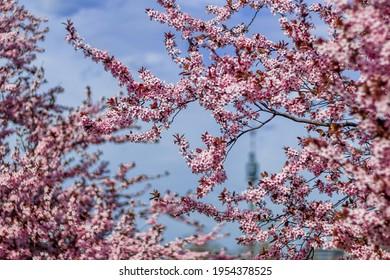 Pink Cherry Blossom in Vienna, Austria