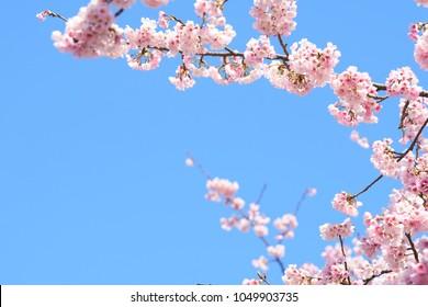 Pink cherry blossom(Cherry blossom, Japanese flowering cherry) on the Sakura tree. Sakura flowers are representative of Japanese flowers. The main part of the winter pass. I love everyone.