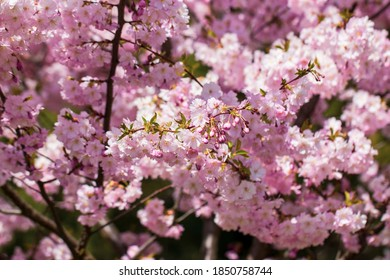 Pink cherry blossoming flowers, sakura power flowers. Selective focus. - Shutterstock ID 1850758744