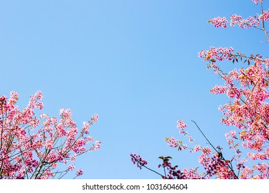 Pink cherry blossoms are beautiful.Sakura is a summer flower. Is a flower in Japan
