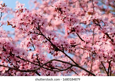 Pink Cherry blossoms blooming on blue sky in Nature Park Switzerland. Spring flowers background.