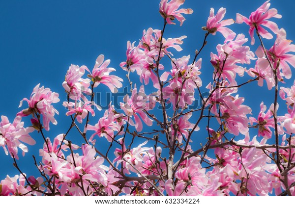 Pink Cherry Blossoms. Pink Cherry blossom flowers in full bloom during spring.