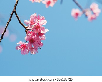 Pink cherry blossoms flower in full bloom, spring season.