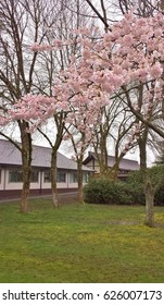 pink cherry blossoms with a Japanese-style roof in the background (Steveston Martial Arts Centre) and green grass below