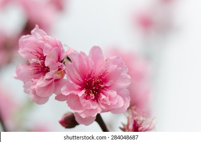 Pink cherry blossoms on tree with blurred background.