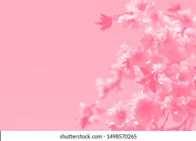 Pink cherry blossoms of sakura on pink toned background . Copy space