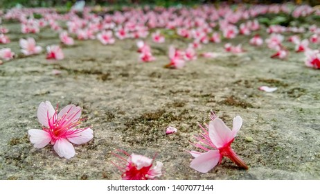 The pink cherry blossoms that fall on the road show that near the end of the cherry blossoms season, but Sakura is still beautiful on the floor.beautiful Prunus cerasoides or called Sakura in Thailand
