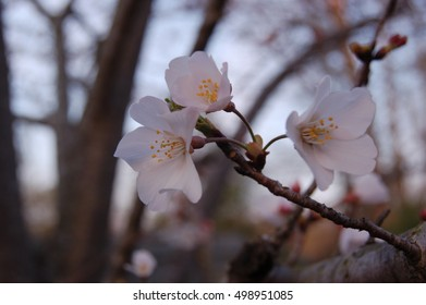 Pink cherry blossoms with tree background blurred
