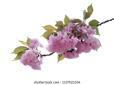 pink cherry flower on white