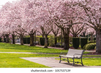 Pink Cherry Tree Blossom and empty Bench in a Park in Spring.