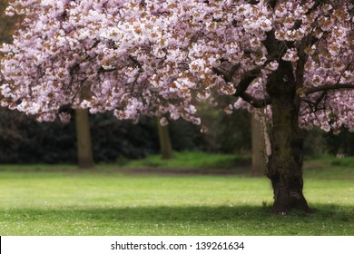 Pink cherry tree blossom at spring, shallow depth of field