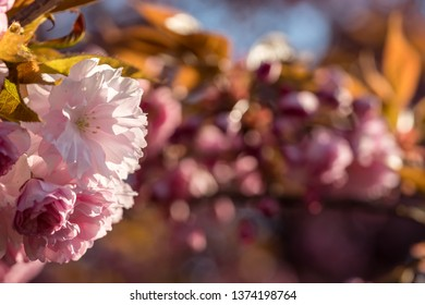 Pink cherry tree blossoms, beautiful love background
