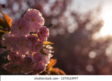 Pink Cherry Tree Blossoms, Colorful Flower Background