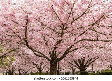 Pink Cherry Trees in Bloom in Park in Spring