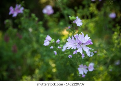 Pink Chicory or Cichorium intybus flower commonly called blue sailors, chicory, coffee weed is a herbaceous perennial plant. Beautiful blossom background.