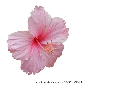 Pink Chinese Hibiscus flowers isolated on white background