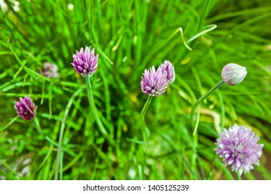 Pink Chive Flowers or blossoms on a green background