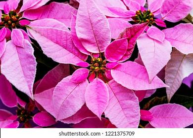 Pink christmas poinsettia flower star, top view.  Princettia Poinsettia ( Euphorbia pulcherrima ) Christmas Star.