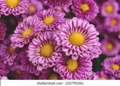 Pink chrysanthemum so beautiful