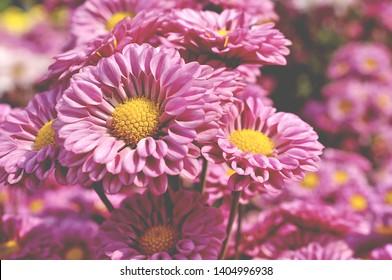 Pink chrysanthemum so beautiful in garden