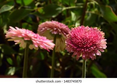 Pink Chrysanthemum Chrysanths Flower Asteraceae