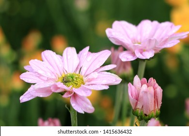 Pink chrysanthemum with drops of water after the rain. Feeling refreshing.soft and select focus.