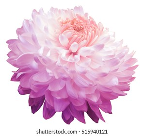 pink  chrysanthemum  flower, pink center. white background isolated  with clipping path.  Closeup. with no shadows. for design.