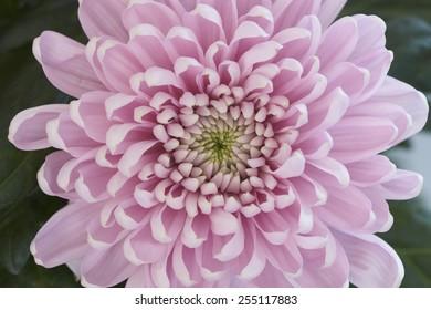 Pink Chrysanthemum flower in full bloom.