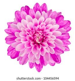 Pink Chrysanthemum Flower Isolated on White Background. Macro Closeup