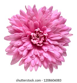 Pink chrysanthemum flower isolated on white background. Floral pattern, object. Flat lay, top view