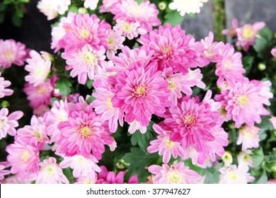 Pink chrysanthemum, flowers background
