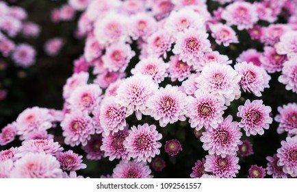 Pink Chrysanthemum flowers, beautiful text space left.