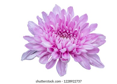 Pink Chrysanthemum flowers on isolate white background with clipping path.