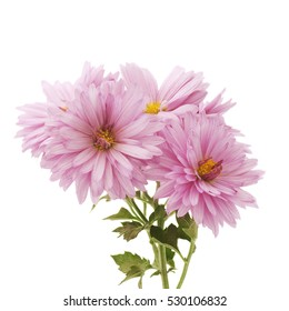 Flower white background images stock photos vectors shutterstock pink chrysanthemum flowers on a white background mightylinksfo Image collections