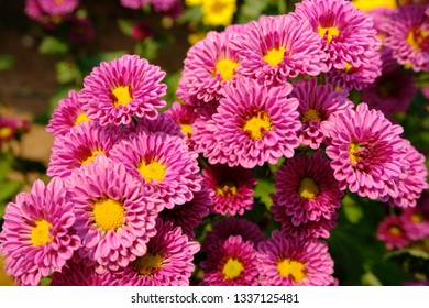 Pink Chrysanthemum in the garden flower