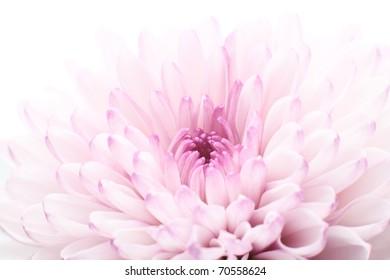 Pink chrysanthemum - macro photo isolated on white