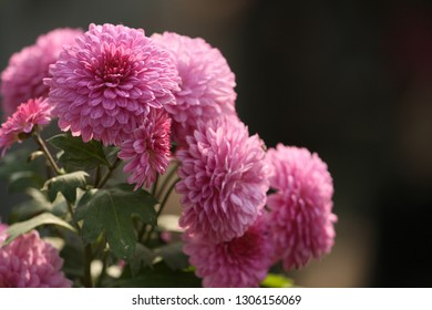 Lemon Chrysanthemum Images Stock Photos Vectors Shutterstock