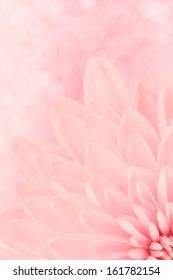Pink chrysanthemum petals macro shot. Mother day concept