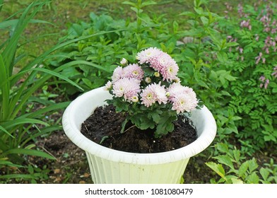 Pink chrysanthemum in a pot against a background of green grass
