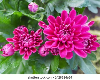 Pink Chrysanthemum x morifolium or Dendranthema close up. Chrysanthemums sometimes called mums or chrysanths are flowering plants of the species perennial plants in the family Asteraceae, Compositae.